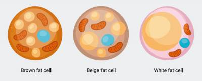 治療糖尿病 棕色脂肪研究助一臂之力